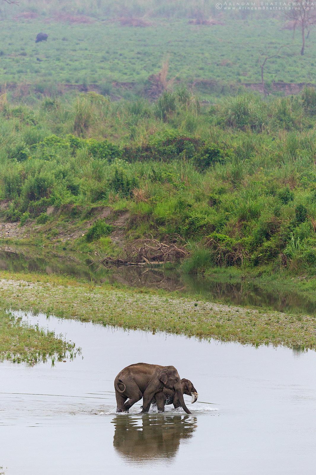 Asian elephant or Asiatic elephant or Elephas maximus crossing murti river at Gorumara National Park, West Bengal, India Arindam Bhattacharya