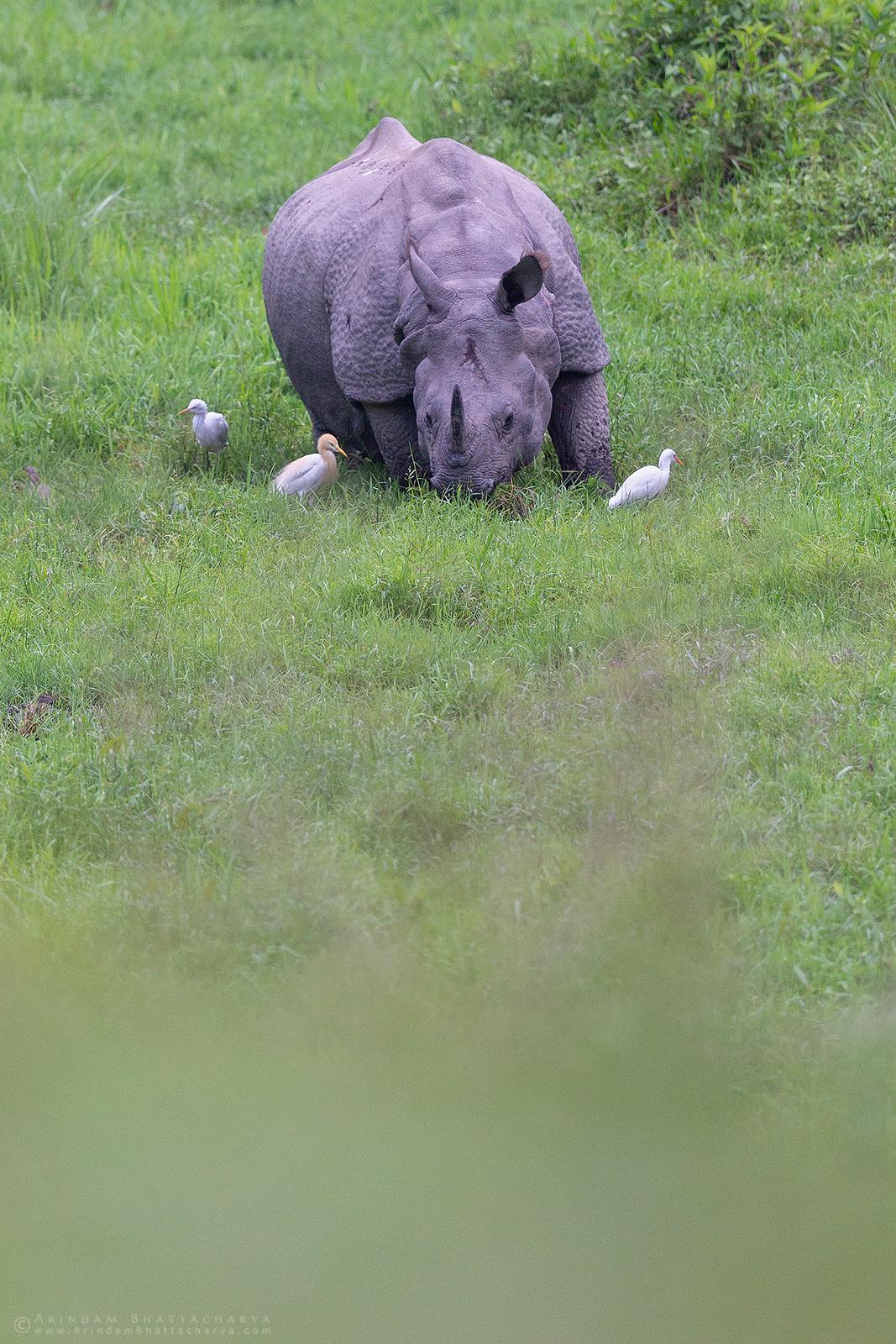 Indian one-horned rhinoceros in Gorumara National Park Dooars West Bengal India