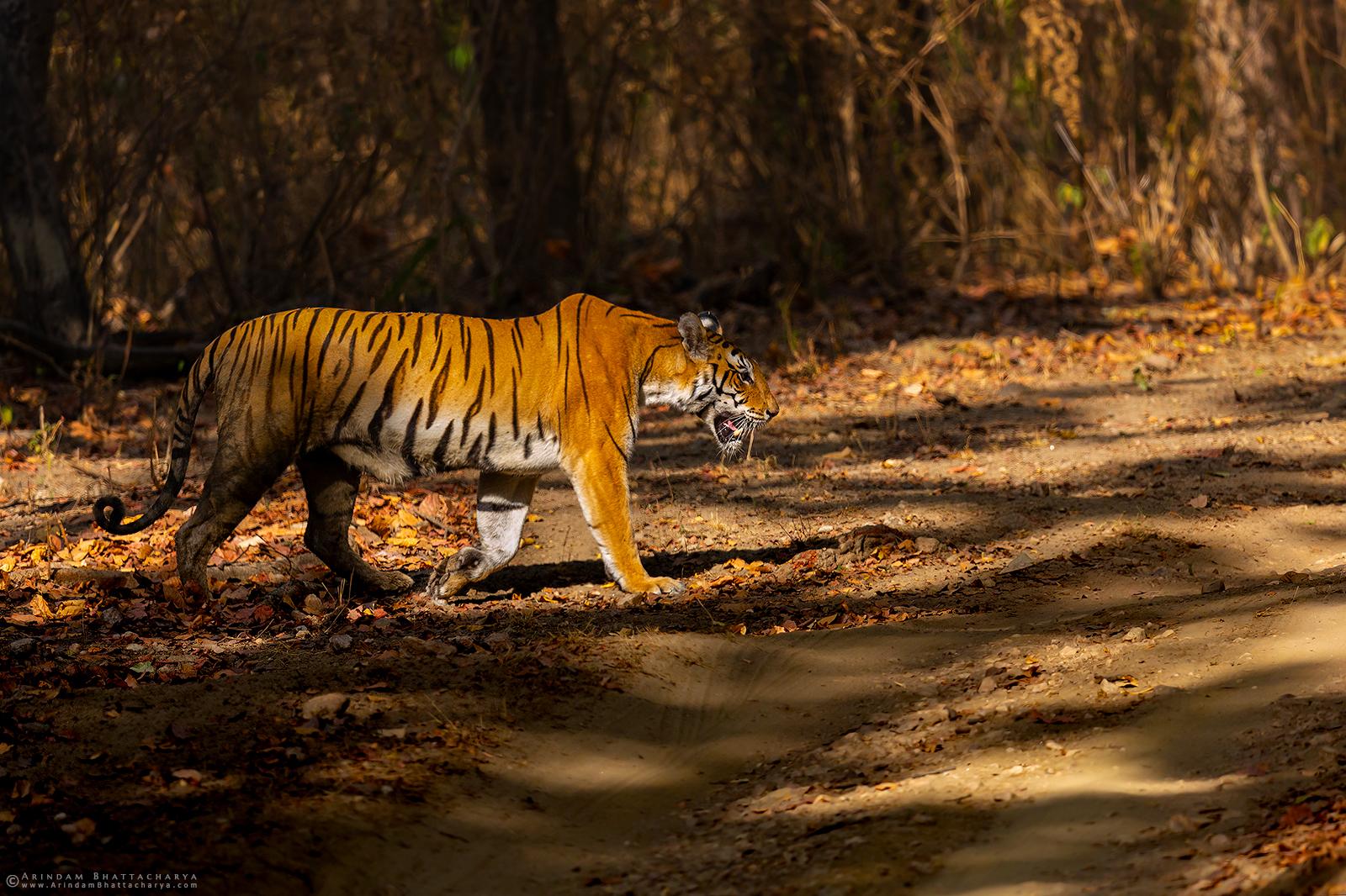 Royal Bengal Tiger or Panthera tigris tigris at Kanha National Park, Madhya Pradesh, India