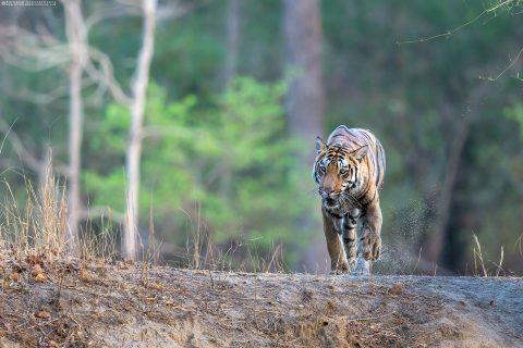 Royal Bengal Tiger or Panthera tigris tigris at Kanha National Park, Madhya Pradesh, India.