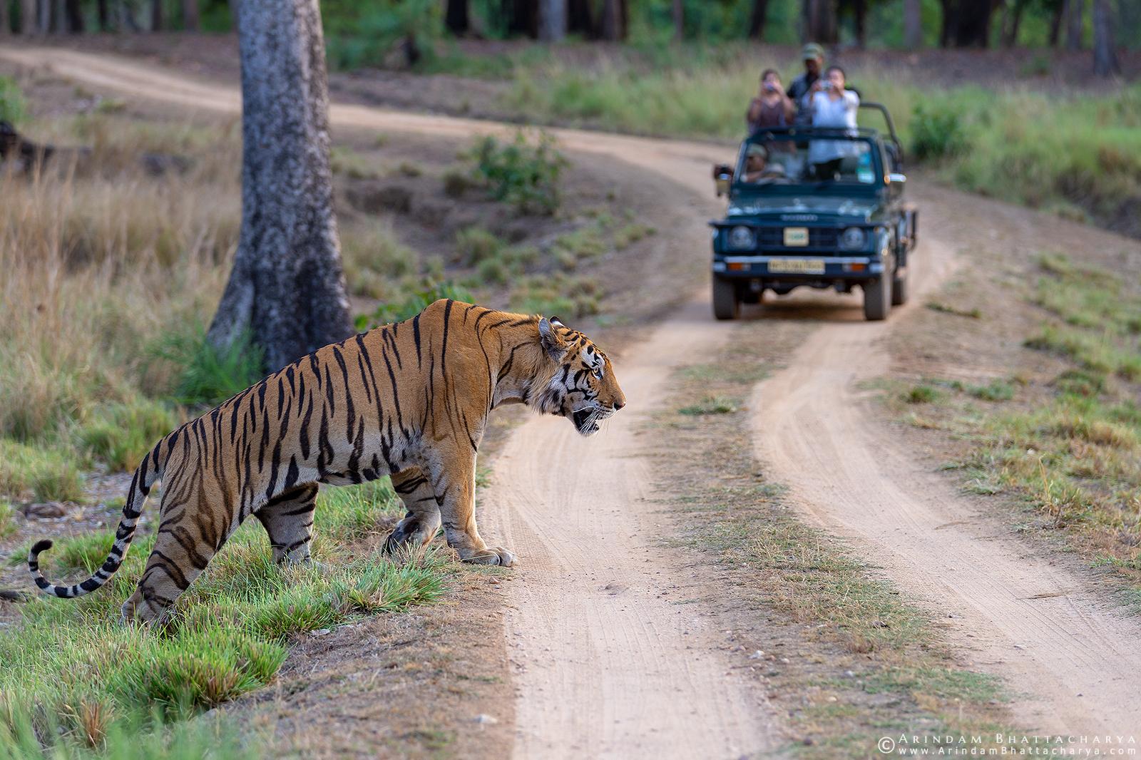 Royal Bengal Tiger or Panthera Tigris Tigris crossing road in front of tourists in Kanha national park, Madhya Pradesh, India