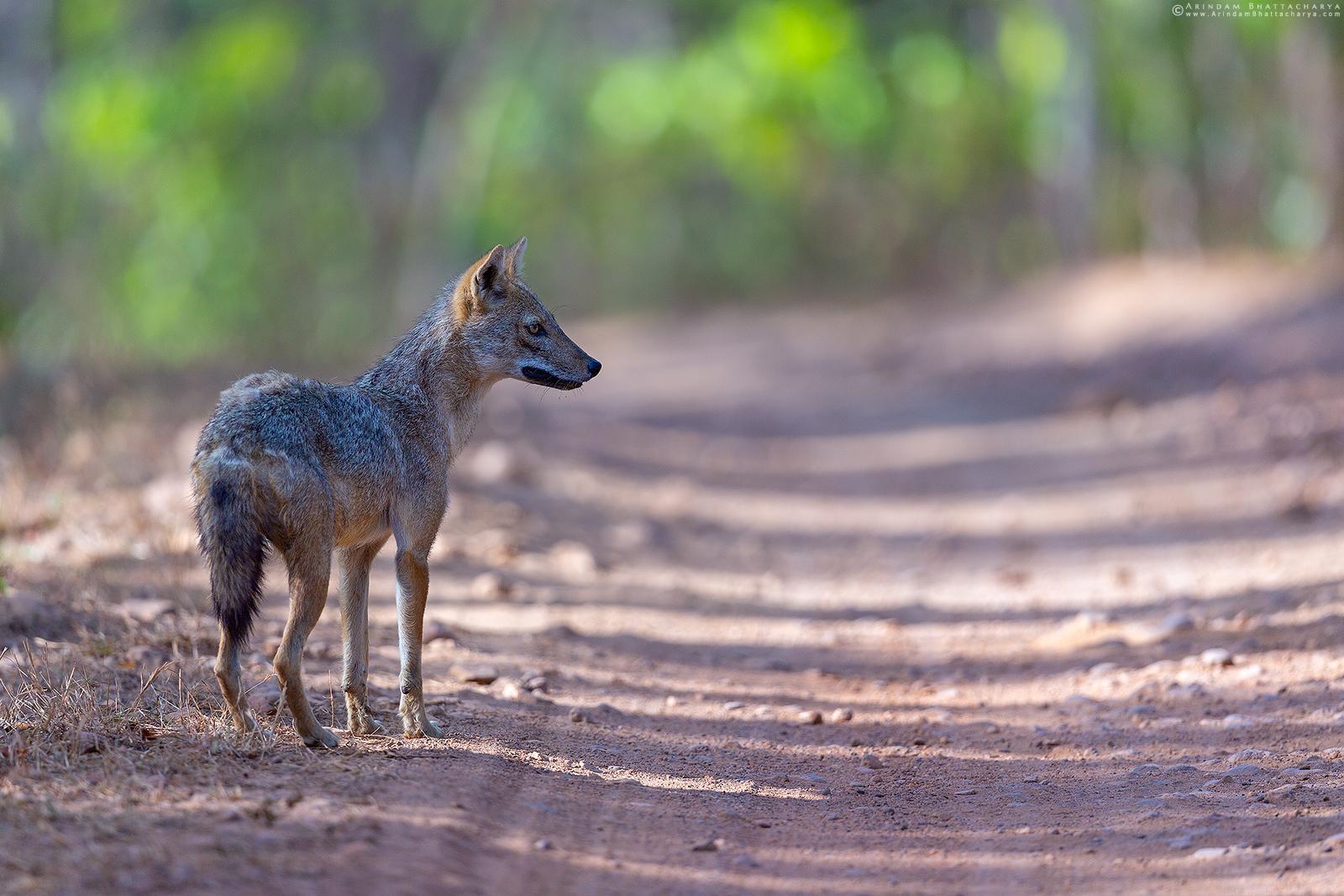 Golden Jackal or Common Jackal or Canis aureus in Kanha National Park, Madhya Pradesh, India