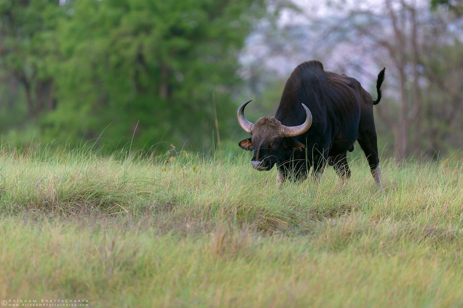 Indian Bison or Gaur at Kanha Tiger reserve central India
