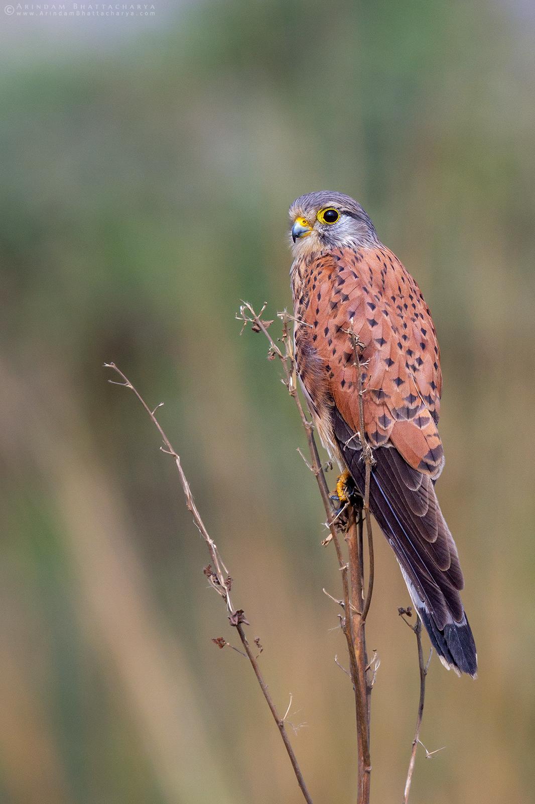 Common Kestral or Falco tinnunculus in Rajarhat grassland Kolkata West Bengal India during winter.