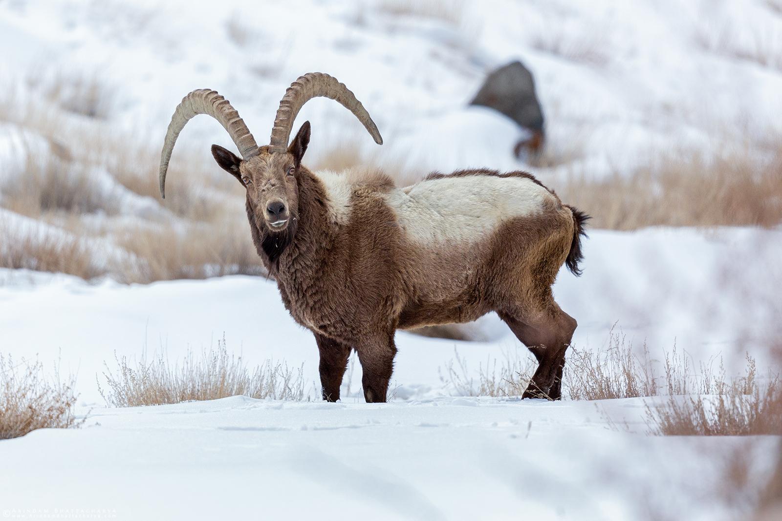 Himalayan Ibex- Ladakh