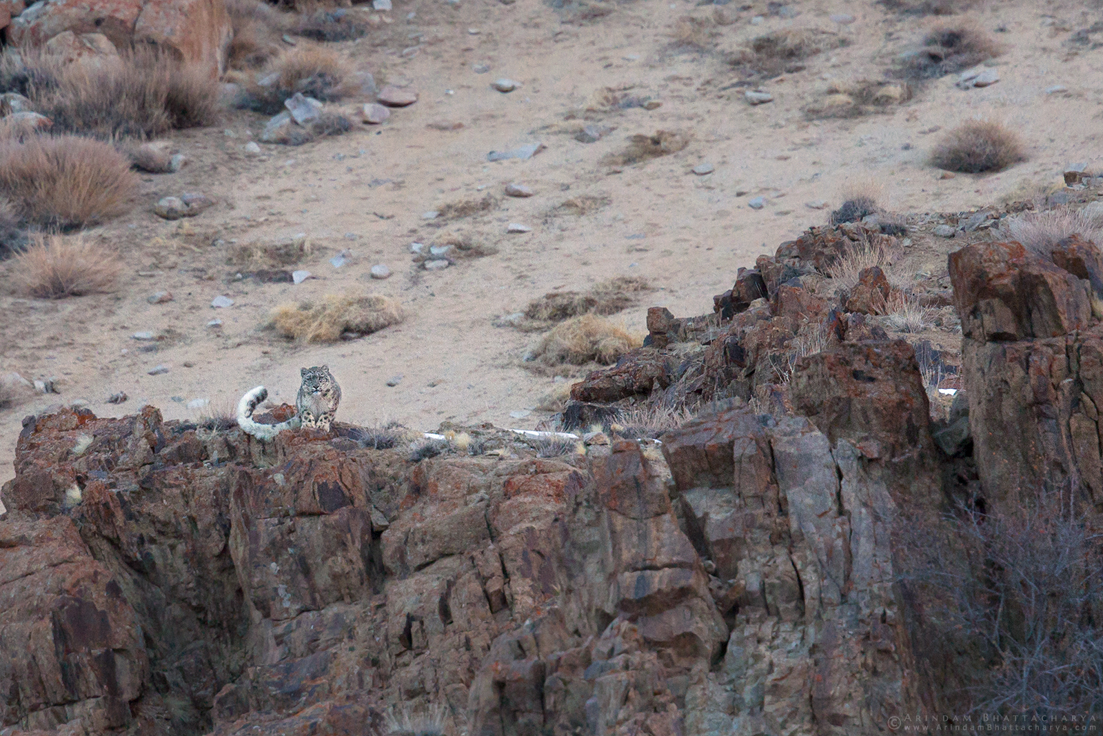 Snow Leopard Ghost of the mountains in Ladakh India by Arindam Bhattacharya