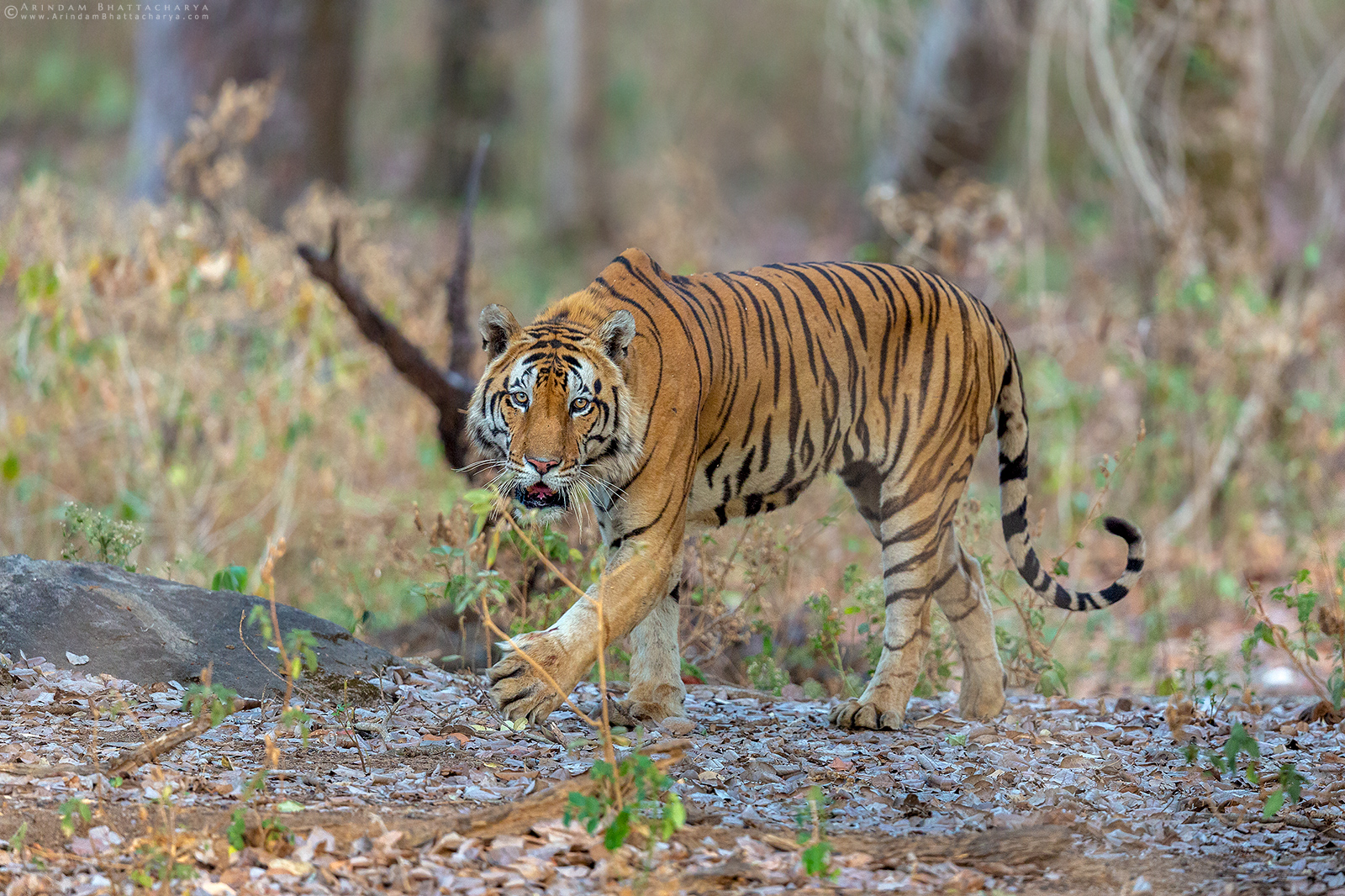 Royal Bengal Tiger or Panthera tigris tigris at Kanha National Park, Madhya Pradesh, India.