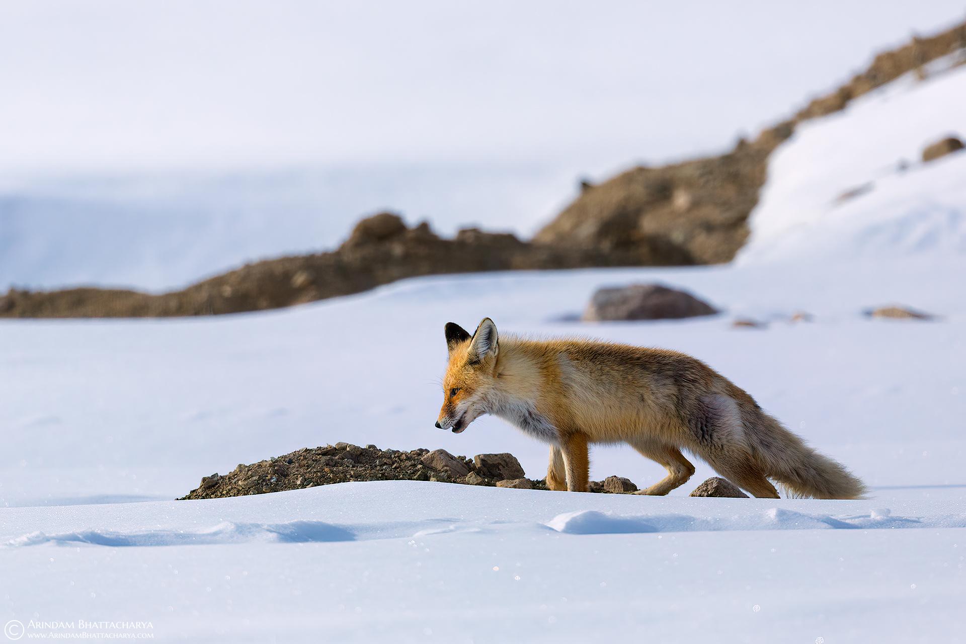 Red Fox - Ladakh