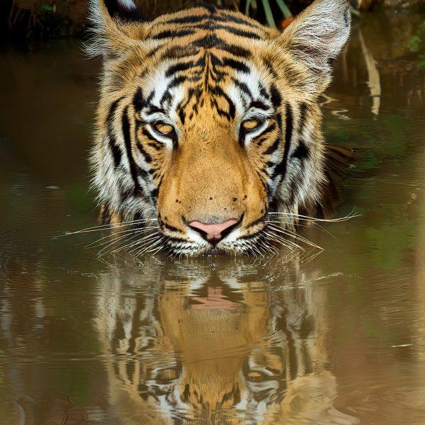 Royal Bengal Tiger at Tadoba National Park Maharashtra India by Arindam Bhattacharya Photography