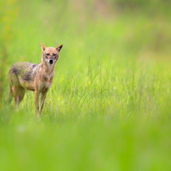 Golden Jackal or Common Jackal or Canis aureus near Kolkata West Bengal India by Arindam Bhattacharya Photography