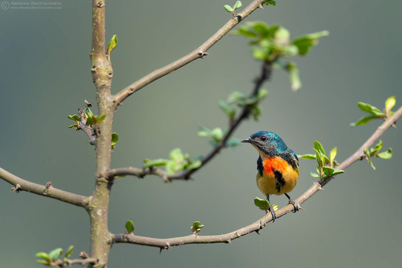 fire breasted flowerpecker in north bengal hills west bengal by arindam Bhattacharya photography