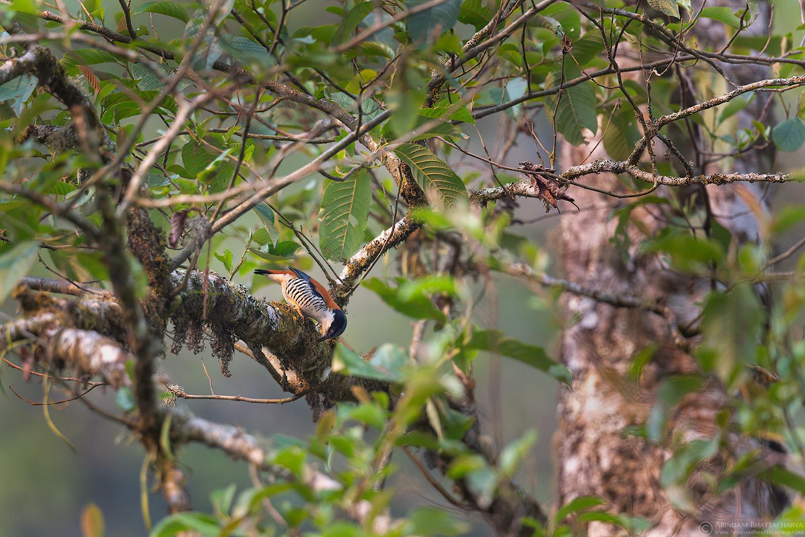 Himalayan Cutia in North Bengal Hills Rishap by Arindam Bhattacharya nature & wildlife photography