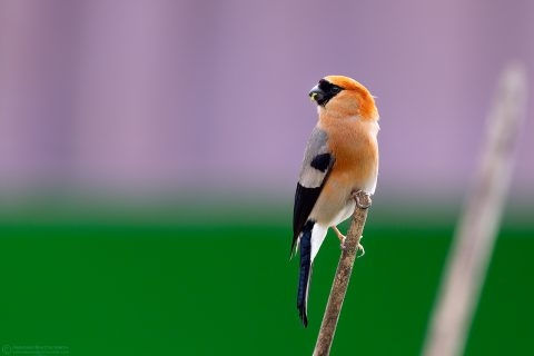 Red-headed bullfinch or Pyrrhula erythrocephala in Lava, North Bengal Hills, West Bengal, India