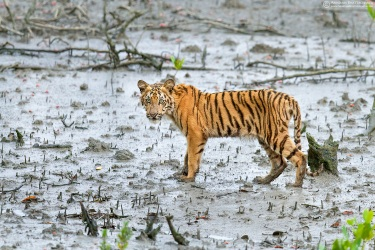 Bengal Tiger Cub, Sunderbans | August 2014
