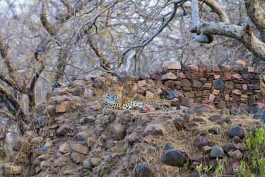 Indian Leopard near Ranthambore Fort | April 2012