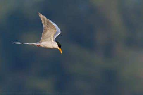 Near Threatened Indian river tern at Satkosia gorge, Odhisa