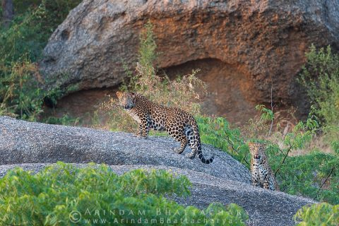 Indian Leopard or Panthera pardus fusca at Bera Rajasthan India