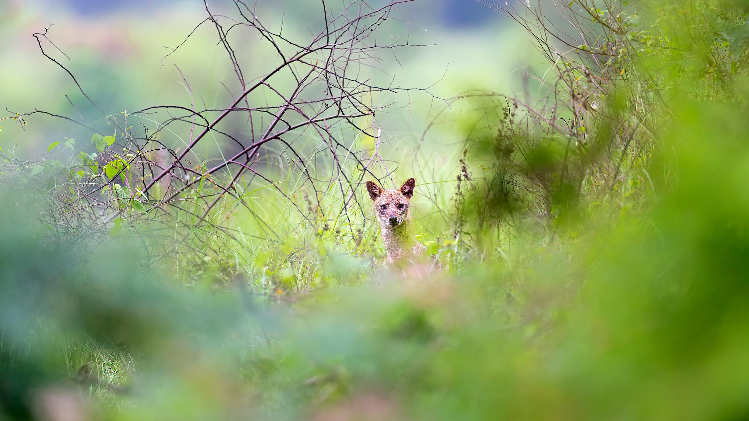 golden jackal or indian jackal India by Arindam Bhattacharya