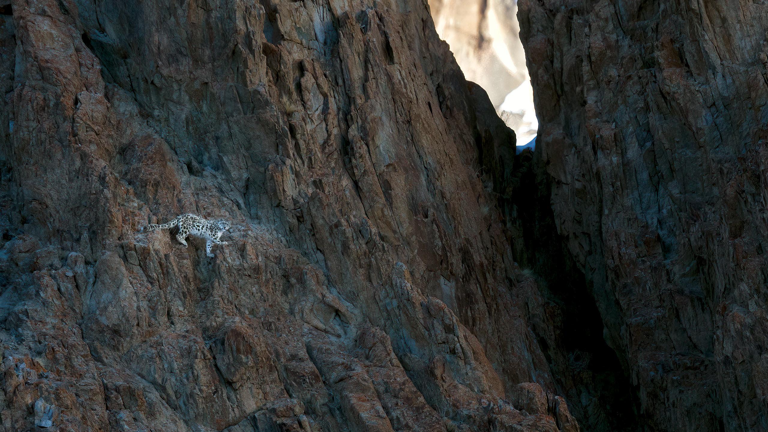Snow Leopard Ladakh Himalaya by Arindam Bhattacharya