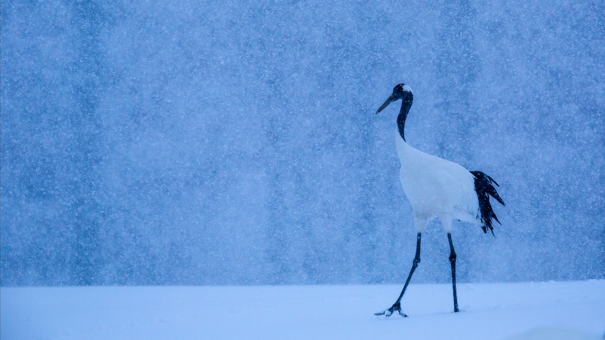 Red Crowned Crane in Japan during Snowfall by Arindam Bhattacharya wildlife photography