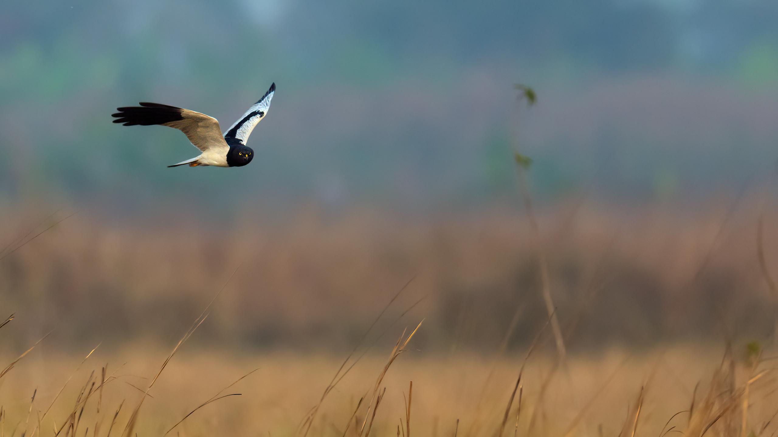 pied harrier by arindam bhattacharya nature and wildlife photography